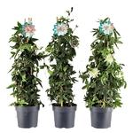 passiflora 2 - La jardinerie de pessicart nice - Livraison a domicile nice 06 plantes vertes terres terreaux jardinage arbres cactus
