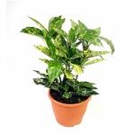 aucuba - La jardinerie de pessicart nice - Livraison a domicile nice 06 plantes vertes terres terreaux jardinage