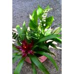 Coupe basse muguet - La jardinerie de pessicart - nice Livraison plantes idées cadeau (7)