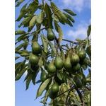 avocatier 2 - La jardinerie de Pessicart - Arbre fruitier Nice livraison