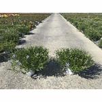 Laurentia - La jardinerie de pessicart nice - Livraison a domicile nice 06 plantes vertes terres terreaux jardinage arbres cactus