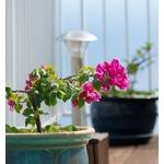 bougainvillea - Photo credit j-kwan on VisualHunt.com- La jardinerie de pessicart nice - Livraison a domicile nice 06 plantes vertes terres terreaux jardinage arbres cactus