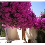 bougainvillea - Photo credit OlivierGo on Visualhunt - La jardinerie de pessicart nice - Livraison a domicile nice 06 plantes vertes terres terreaux jardinage arbres cactus