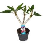 frangipanier plumeria - La jardinerie de pessicart nice - Livraison a domicile nice 06 plantes vertes terres terreaux jardinage arbres cactus