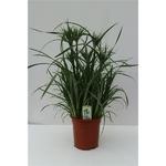 papyrus -  La jardinerie de pessicart nice - Livraison a domicile nice 06 plantes vertes terres terreaux jardinage arbres cactus