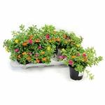 pourpier portulaca - La jardinerie de pessicart nice - Livraison a domicile nice 06 plantes vertes terres terreaux jardinage arbres cactus