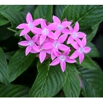 pentas Photo credit jam343 on Visualhunt - La jardinerie de pessicart nice - Livraison a domicile nice 06 plantes vertes terres terreaux jardinage arbres cactus