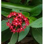pentas Photo credit dermoidhome on Visualhunt - La jardinerie de pessicart nice - Livraison a domicile nice 06 plantes vertes terres terreaux jardinage arbres cactus