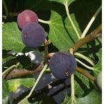 figuier arbre fruitier ficus carica 4 - pixabay- La jardinerie de pessicart nice - Livraison a domicile nice 06 plantes vertes terres terreaux jardinage arbres cactus