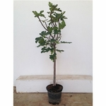 figuier arbre fruitier ficus carica 3 - La jardinerie de pessicart nice - Livraison a domicile nice 06 plantes vertes terres terreaux jardinage arbres cactus