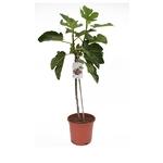 figuier arbre fruitier ficus carica 5- La jardinerie de pessicart nice - Livraison a domicile nice 06 plantes vertes terres terreaux jardinage arbres cactus