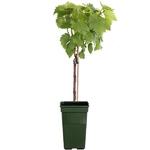 vigne vitis vinifera - La jardinerie de pessicart nice - Livraison a domicile nice 06 plantes vertes terres terreaux jardinage arbres cactus