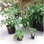 tomates plants Photo credit Les Serres Fortier on Visualhunt.com - La jardinerie de pessicart nice - Livraison a domicile nice 06 plantes vertes terres terreaux jardinage arbres cactus