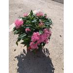 pentas 4 - La jardinerie de pessicart nice - Livraison a domicile nice 06 plantes vertes terres terreaux jardinage arbres cactus