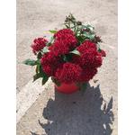pentas 3 - La jardinerie de pessicart nice - Livraison a domicile nice 06 plantes vertes terres terreaux jardinage arbres cactus