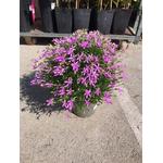 Laurentia 3 - La jardinerie de pessicart nice - Livraison a domicile nice 06 plantes vertes terres terreaux jardinage arbres cactus