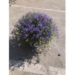Laurentia 2 - La jardinerie de pessicart nice - Livraison a domicile nice 06 plantes vertes terres terreaux jardinage arbres cactus