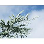 eucalyptus Photo credit Starr Environmental on VisualHunt.com- La jardinerie de pessicart nice - Livraison a domicile nice 06 plantes vertes terres terreaux jardinage arbres cactus