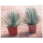 yucca rostrata  - La jardinerie de pessicart nice - Livraison a domicile nice 06 plantes vertes terres terreaux jardinage arbres cactus