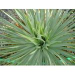 yucca rostrata Photo credit edible_plum on VisualHunt  - La jardinerie de pessicart nice - Livraison a domicile nice 06 plantes vertes terres terreaux jardinage arbres cactus