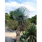 yucca rostrata Photo credit Scott Zona on Visualhunt  - La jardinerie de pessicart nice - Livraison a domicile nice 06 plantes vertes terres terreaux jardinage arbres cactus