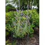sauge de russie perovskia Photo credit F. D. Richards on VisualHunt -  La jardinerie de pessicart nice - Livraison a domicile nice 06 plantes vertes terres terreaux jardinage arbres cactus