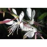 gaura lindheimeri - Photo credit AndreyZharkikh on VisualHunt - La jardinerie de pessicart nice - Livraison a domicile nice 06 plantes vertes terres terreaux jardinage arbres cactus