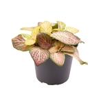Fittonia pink specik - La jardinerie de pessicart nice - Livraison a domicile nice 06 plantes vertes terres terreaux jardinage