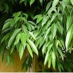 ficus alii ficus sabre ficus à longues feuilles Photo credit jccsvq on Visualhunt- La jardinerie de pessicart nice - Livraison a domicile nice 06 plantes vertes terres terreaux jardinage arbres cactus