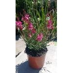 Gaura - la jardinerie de pessicart nice 06100