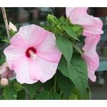 hibiscus moscheutos hibiscus des marais ibisco - Photo credit douneika on Visualhunt.com - La jardinerie de pessicart nice - Livraison a domicile nice 06 plantes vertes terres terreaux jardinage arbres cactus
