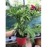 piments en pots avec fruis charnus jalapeno - La jardinerie de pessicart nice - Livraison a domicile nice 06 plantes vertes terres terreaux jardinage arbres cactus