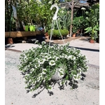 scaevola suspension plante fleurie blanche - La jardinerie de pessicart nice - Livraison a domicile nice 06 plantes vertes terres terreaux jardinage arbres cactus