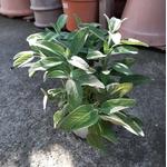 sauge aromatique 3 -  La jardinerie de pessicart nice - Livraison a domicile nice 06 plantes vertes terres terreaux jardinage arbres cactus