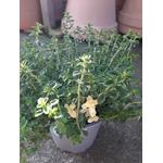 thym citron foxley aromatique thymus pulegioides foxley 2 -  La jardinerie de pessicart nice - Livraison a domicile nice 06 plantes vertes terres terreaux jardinage arbres cactus