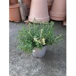 thym citron foxley aromatique thymus pulegioides foxley -  La jardinerie de pessicart nice - Livraison a domicile nice 06 plantes vertes terres terreaux jardinage arbres cactus