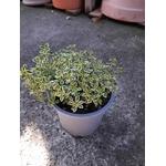 thym citron aromatique thymus citriodorus aureo -  La jardinerie de pessicart nice - Livraison a domicile nice 06 plantes vertes terres terreaux jardinage arbres cactus