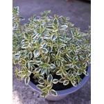 thym citron aromatique thymus citriodorus aureo 2 -  La jardinerie de pessicart nice - Livraison a domicile nice 06 plantes vertes terres terreaux jardinage arbres cactus