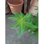 Verveine citronnelle 4- La jardinerie de pessicart nice - Livraison a domicile nice 06 plantes vertes terres terreaux jardinage arbres cactus