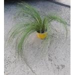 stipa cheveux ange graminée p12 - La jardinerie de pessicart nice - Livraison a domicile nice 06 plantes vertes terres terreaux jardinage