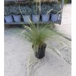 stipa cheveux ange graminée 3 - La jardinerie de pessicart nice - Livraison a domicile nice 06 plantes vertes terres terreaux jardinage