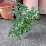 persil aromatique 2 -  La jardinerie de pessicart nice - Livraison a domicile nice 06 plantes vertes terres terreaux jardinage arbres cactus