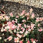 Jasmin rhyncospermum trachelospemum rempant tricolor Photo credit CompraPiante on Visualhunt.com- La jardinerie de pessicart nice - Livraison a domicile nice 06 plantes vertes terres terreaux jardinage arbres cactus