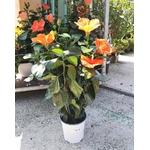 Hibiscus rosa sinensis fleurs orange - La jardinerie de pessicart nice - Livraison a domicile nice 06 plantes vertes terres terreaux jardinage arbres cactus