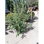 Buddleia ou Arbre aux papillons blanc La Jardinerie de Pessicart NIce 06100