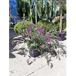 Buddleia ou Arbre aux papillons mauve La Jardinerie de Pessicart NIce 06100