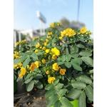 Cassia corymbosa en pot de 10 litres la jardinerie de pessicart NIce 06100-2