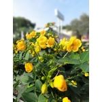 Cassia corymbosa en pot de 10 litres la jardinerie de pessicart NIce 06100