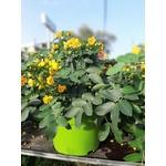 Cassia corymbosa en pot de 10 litres la jardinerie de pessicart NIce 06100-1