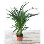 palmier areca dypsis lutescens 2 - La jardinerie de pessicart nice - Livraison a domicile nice 06 plantes vertes terres terreaux jardinage